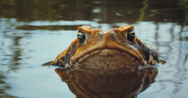 Тростниковые жабы. Оккупация